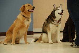 Dog trainer training three dogs - Positive reinforcement dog training