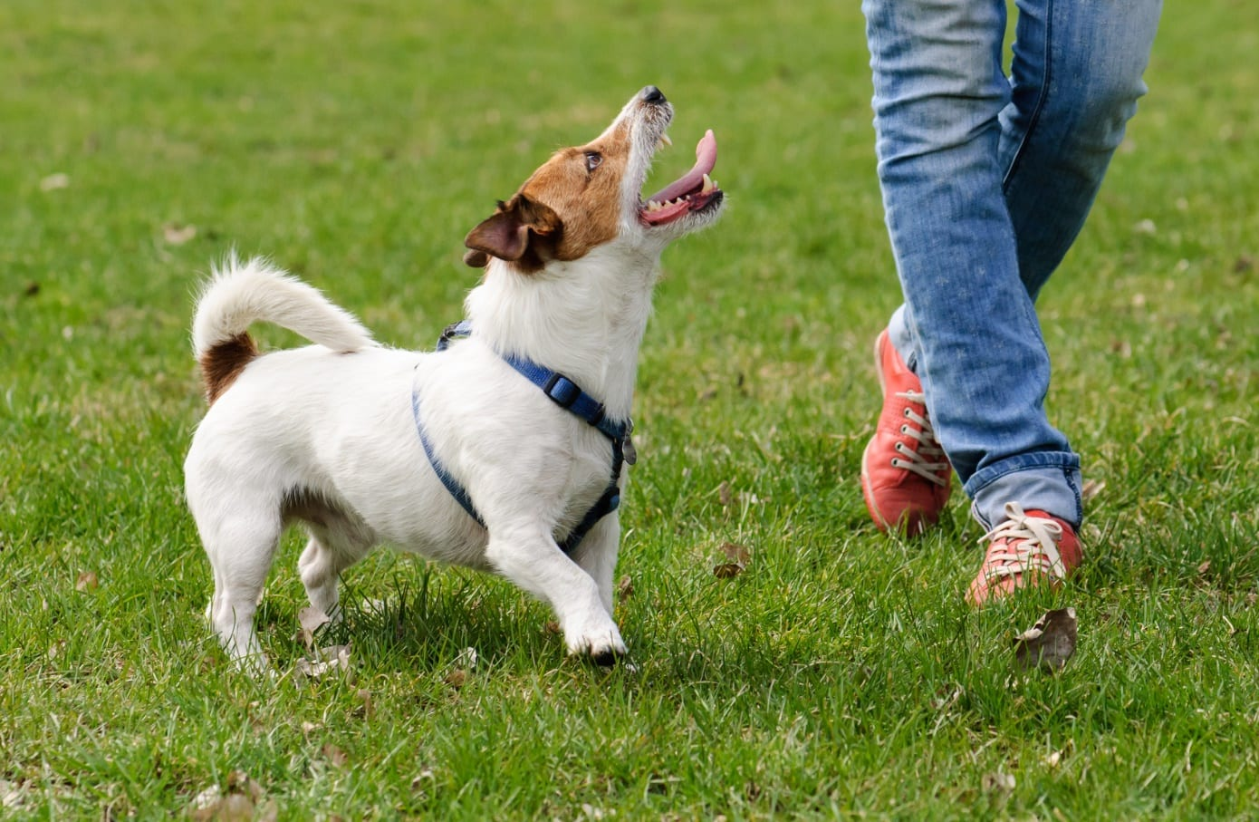 Jack Russell dog walking - Get Your Dog to Listen Better