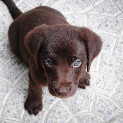 Cute brown puppy - Positive Reinforcement Dog Training