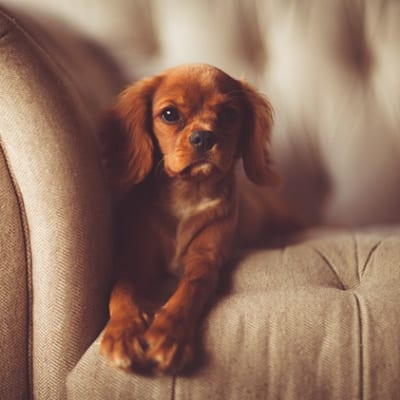 Puppy on couch - Positive Reinforcement Dog Training