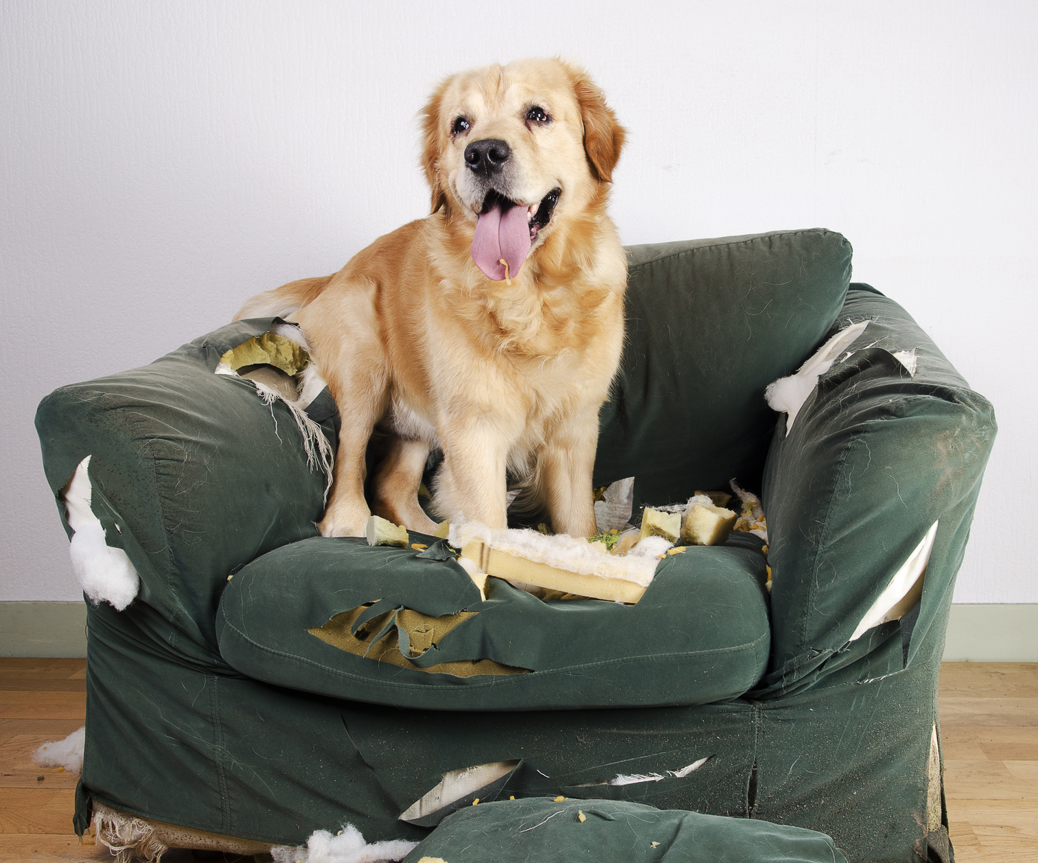 Dog on chewed up chair - Separation anxiety in dogs