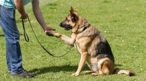 German Shepherd gives paw - Teach your dog to give paw