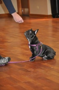 Puppy sits for treat - Group Dog Training Classes
