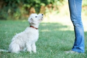Little white dog in training - dog training gift certificates