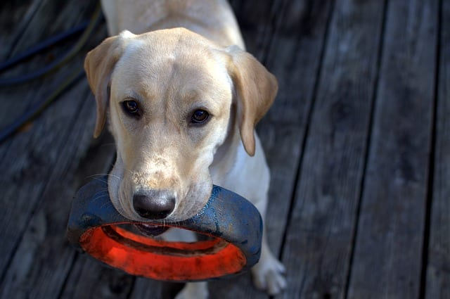 Labrador with toy - Dog Toys and Training Tips