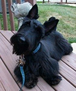 Cute black dog - dog training