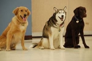 Three dogs in off leash class - Group Dog Training Classes
