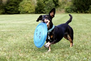 Frisbee dog - In Home Dog Training