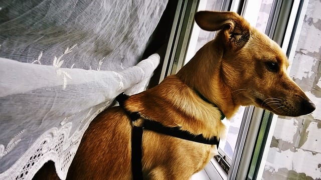 Dog looking out window - Separation anxiety in dogs