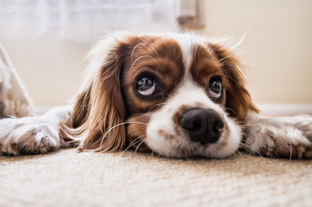 Sad Cavalier dog - Dogs and grief