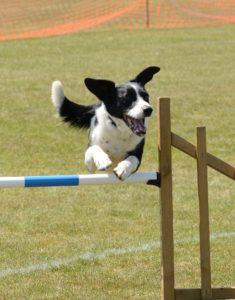 Dog jumps hurdle - In Home Dog Training