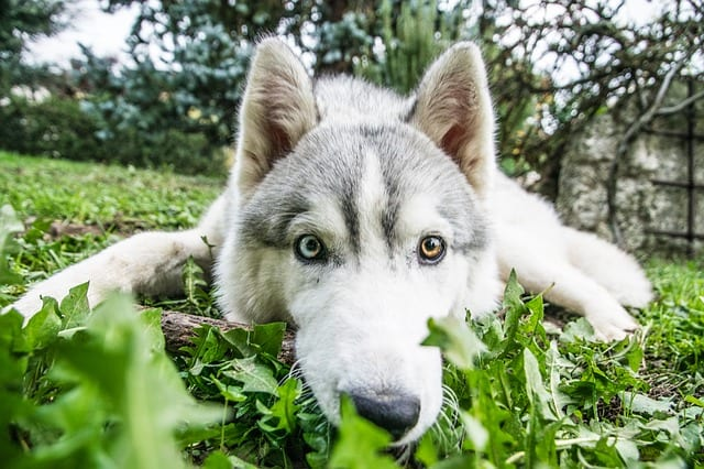 Husky dog in grass - Dog Training Tips for Digging