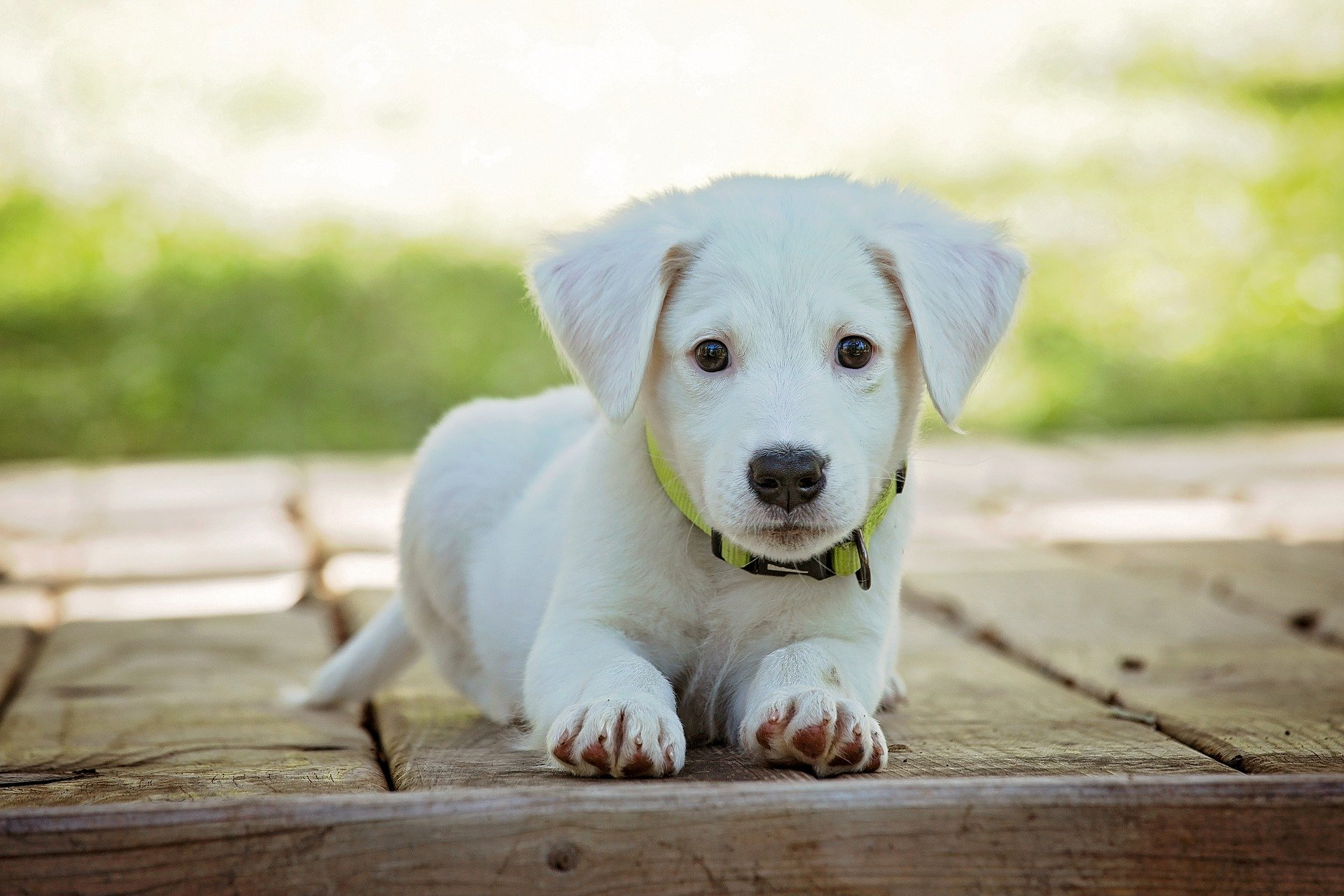 Little white puppy - Socialize your puppy